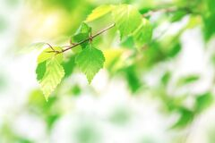 Young green leaves of birch. Beautiful spring background. Sunny day. Selective soft focus