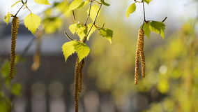 Young green leaves of birch tree in early spring. Birch catkins swaying in the wind. Young green leaves of birch tree in early spring in April stock footage