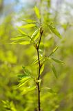 Young green leaves on branch with blurry green background Stock Image