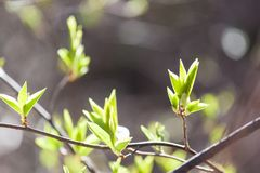 Young green leaves on bush and tree. Early fresh spring background. Young green leaves on bush and tree. Early fresh spring beautiful background stock photos