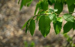 Young green leaves of Carpinus betulus, the European or common hornbeam. Beautiful twigs on blurred brown spring background