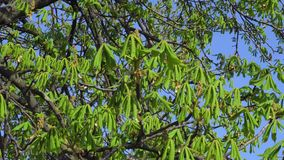 Young green leaves of chestnut tree in early spring.  stock video