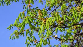 Young green leaves of chestnut tree in early spring.  stock footage