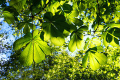 Young green leaves of the chestnut trees in spring Royalty Free Stock Images