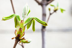 Young green leaves of conker tree in spring Royalty Free Stock Photography