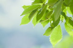 Young green leaves in early summer sunlight Royalty Free Stock Images