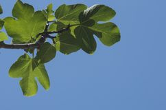Young green leaves of a fig tree isolated against blue sky backg. Branch of young green leaves of a fig tree isolated against blue sky background; leaves Royalty Free Stock Photos