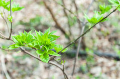Young green leaves growing in the springtime. stock photography