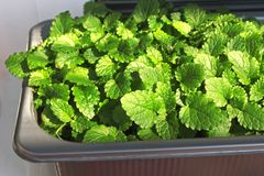Young green leaves of lemon balm in a pot on the windowsill at home. stock images