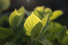 Young green leaves. Young green leaves in the light of the setting sun stock photo