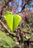 Young green leaves of a lilac in the form of heart Royalty Free Stock Photo