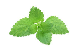 Young green leaves of mint Stock Image