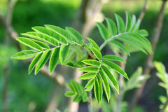 Young green leaves of mountain ash in early spring. Beginning of springtime Royalty Free Stock Images