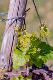 Young green leaves on an old French vine. Vineyards agriculture in spring. Springtime. Toned image. Soft focus. royalty free stock photography