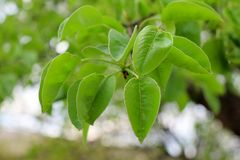Young green leaves of a pear tree of the earth and grass in the spring royalty free stock photo