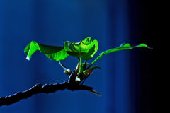 Young green leaves of poplar bloom on branch Royalty Free Stock Photography