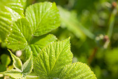 Young green leaves of raspberry closeup Royalty Free Stock Image