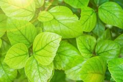 Young Green Leaves of a Shrub Botanical Foliage Background. Golden Sunlight Flare. Nature Awakening Easter. Spring Royalty Free Stock Photo