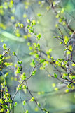 Young green leaves spring background Royalty Free Stock Photography