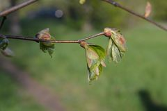 Green leaves spring. Young green leaves spring time Royalty Free Stock Photos