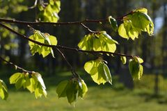 Green leaves spring. Young green leaves spring time Royalty Free Stock Photography