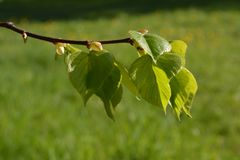 Green leaves spring. Young green leaves spring time Royalty Free Stock Image