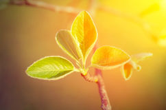 Young green leaves and sun rays Stock Photos