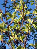 Young green leaves on thee trunks. In a sunny day Stock Photos