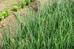 Young green leek Stock Image