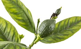 Young green lemon fruit royalty free stock images