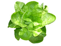 Young green lettuce Royalty Free Stock Images