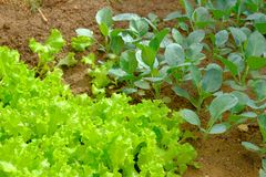 Young green Lettuce and Chinese broccoli plant Royalty Free Stock Photography