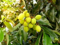 Young green Lychee stock images