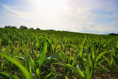 Young green maize field. Growing corn plant on sunny summer day in countryside. Slovakia.  Stock Photo