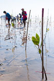 Young green mangrove plant by volunteer in a swamps  at reserve Stock Images