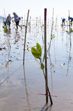 Young green mangrove plant by volunteer in a swamps  at reserve Royalty Free Stock Photos