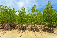 Young green mangrove trees Stock Photos