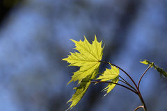 Young green maple leaf Royalty Free Stock Photos