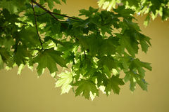The young green maple leaves lit with the sun on a yellow backgr Stock Images