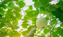 Young green melon or cantaloupe growing in the greenhouse. Young green melon or cantaloupe growing in the greenhouse Royalty Free Stock Photo