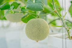 Young green melon or cantaloupe growing in the greenhouse. Close up young green melon or cantaloupe growing in the greenhouse Stock Photo