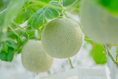 Young green melon or cantaloupe growing in the greenhouse. Close up young green melon or cantaloupe growing in the greenhouse Royalty Free Stock Photo