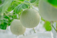 Young green melon or cantaloupe growing in the greenhouse. Close up young green melon or cantaloupe growing in the greenhouse Stock Image