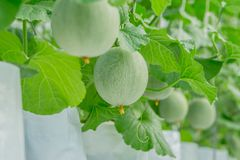 Young green melon or cantaloupe growing in the greenhouse. Close up young green melon or cantaloupe growing in the greenhouse Royalty Free Stock Images