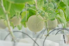 Young green melon or cantaloupe growing in the greenhouse. Young green melon or cantaloupe growing in the greenhouse Stock Photo