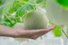Young green melon or cantaloupe growing in the greenhouse. Young green melon or cantaloupe growing on hand farmer in the greenhouse Stock Images