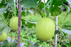 Young green melon hanging on tree in field Stock Photography