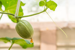 Young green melon hanging on tree Royalty Free Stock Photos