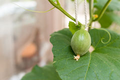 Young green melon hanging on tree Royalty Free Stock Images