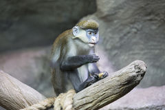 Young green monkey Royalty Free Stock Photography